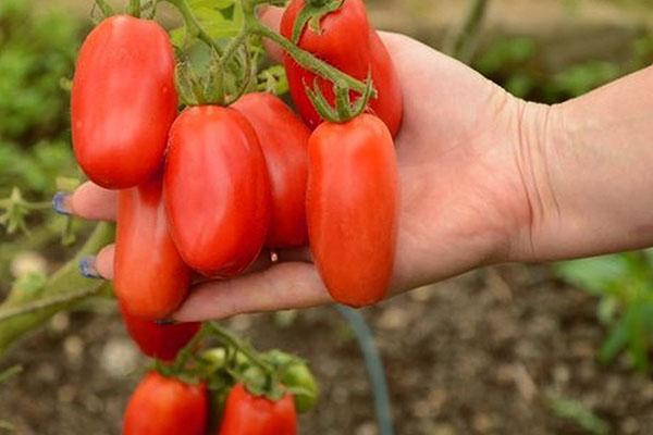 томаты интересной формы