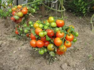 Что такое штамбовые томаты, описание сортов и выращивание