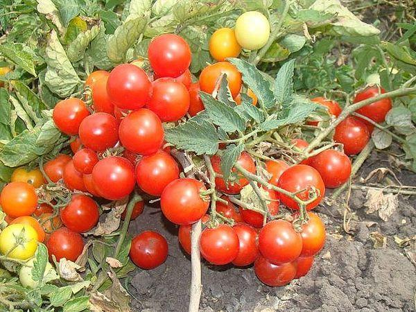 кусты томата бони