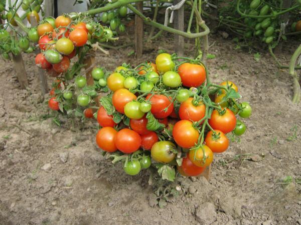 штамбовиные томаты