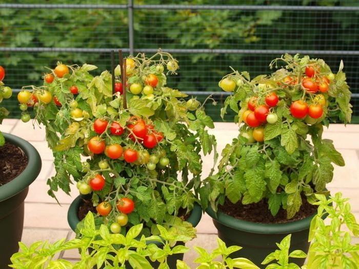 томаты в горшке