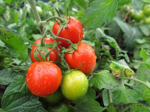 безрассадный куст томата