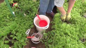Какие сидераты лучше сеять для томатов и правила использования