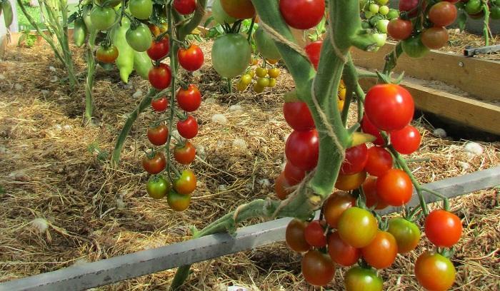 Вишенка томат