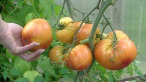 Описание лучших сортов высокорослых помидоров, когда сажать на рассаду и как выращивать