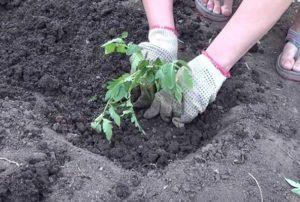 На какую глубину стоит сажать семена помидоров