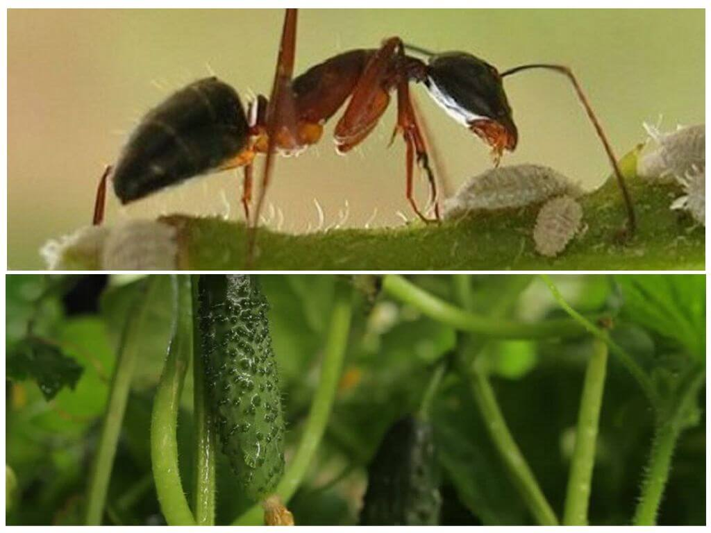 муравьи в огурцов