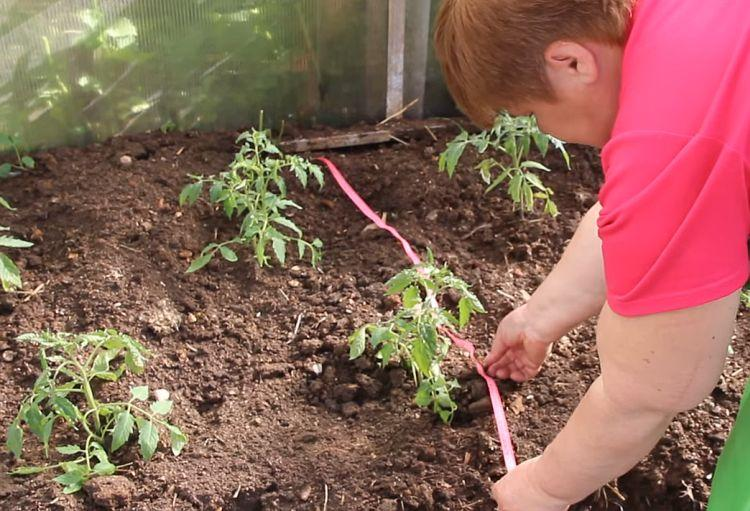 томаты карликовые