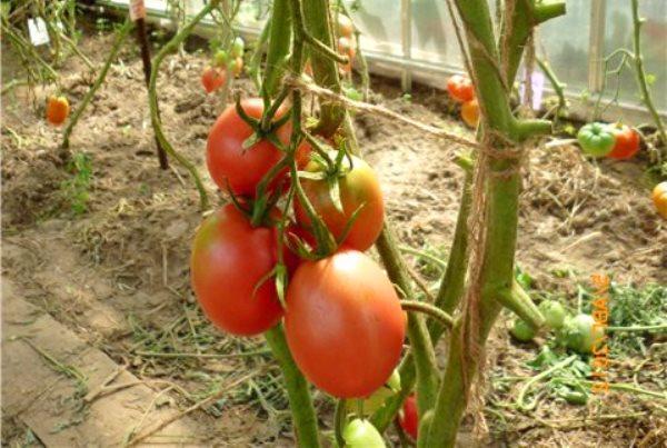 де барао томат