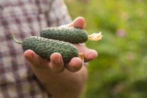 Характеристика и описание сортов кустовых огурцов, выращивание и уход