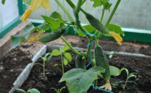 Лучшие сорта огурцов для выращивания в теплицах из поликарбоната в Подмосковье, посадка и уход