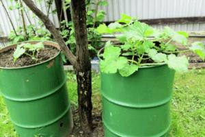 Как сажать, выращивать и ухаживать за огурцами в бочке пошагового