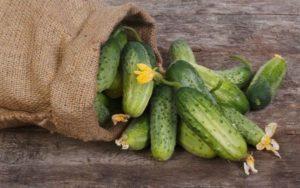 Когда в Сибири сажать огурцы в открытый грунт, как выращивать и лучшие сорта