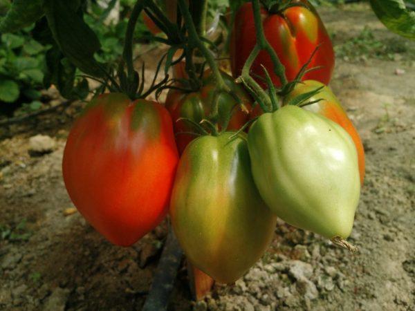 Орлиное сердце томат