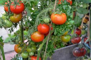 Описание лучших сортов томатов для открытого грунта средней полосы