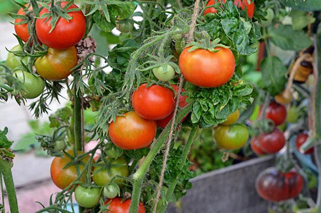 томат Палка