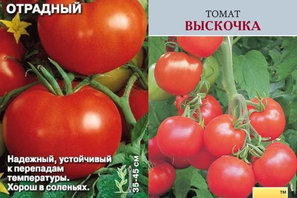 томат отрадный и выскочка
