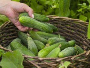 Что такое партенокарпические огурцы, описание сортов, выращивание и уход