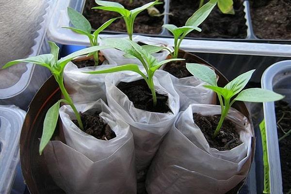 рассада томата в пеленках