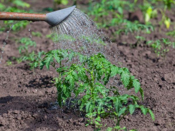 полив рассады томата