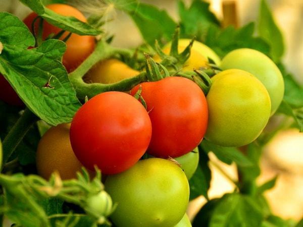 кисть томата