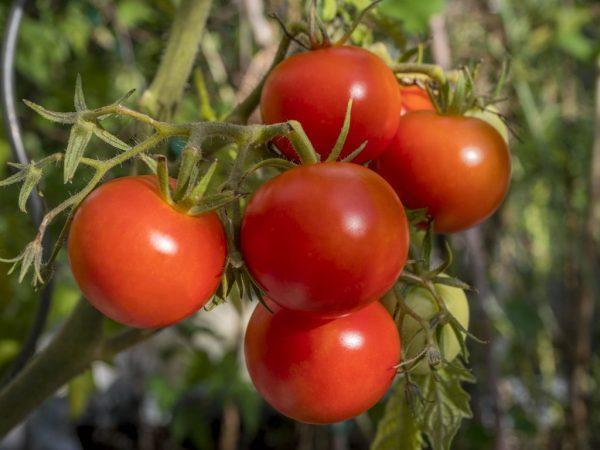 томат полбиг