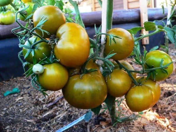 томат болото