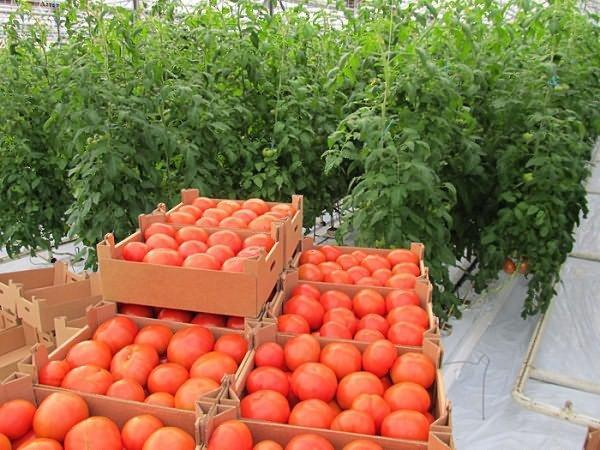 хороший урожай томата в теплице