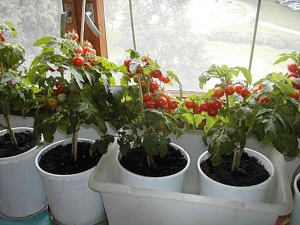 томаты в горшках