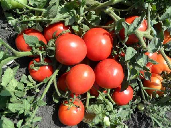 томат Вологодский урожайный