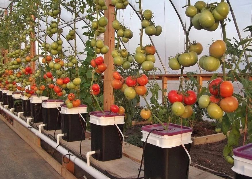 томаты на гидропонике