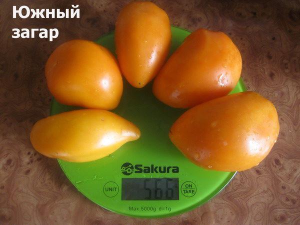 томат Южный загар
