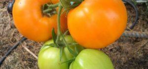 Описание редких коллекционных сортов томатов от Валентины Редько, новинки 2019 года