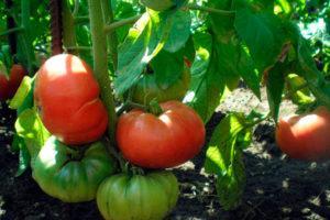 Описание и характеристики лучших сортов томатов для Подмосковья
