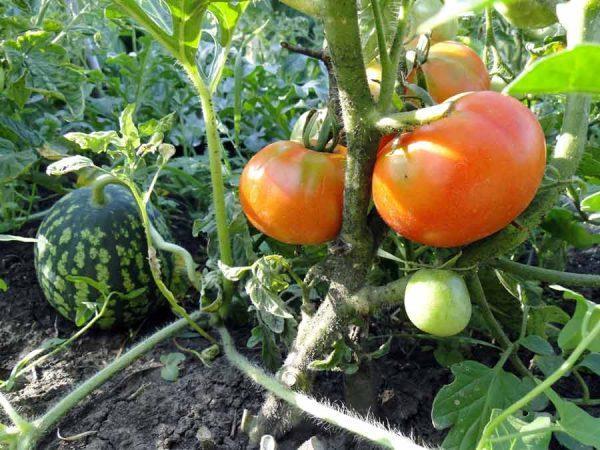 кусты томата в огороде