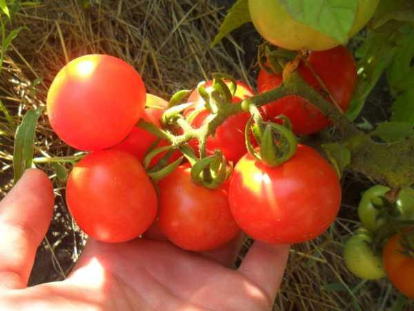 томат санька