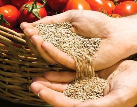 сборка семян томата
