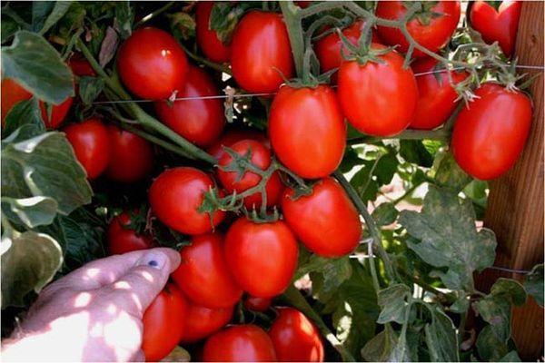 томат амулет