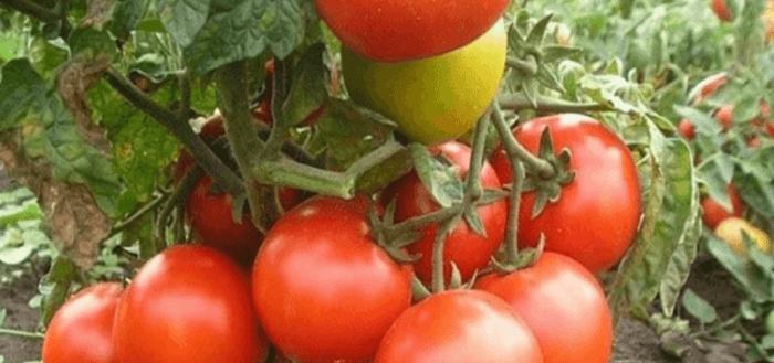 томаты для сибири