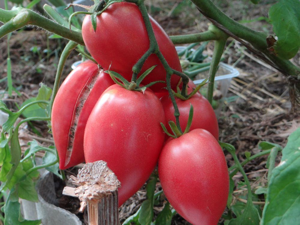 Кенигсберг томат