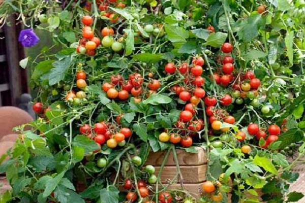 Водопад томат