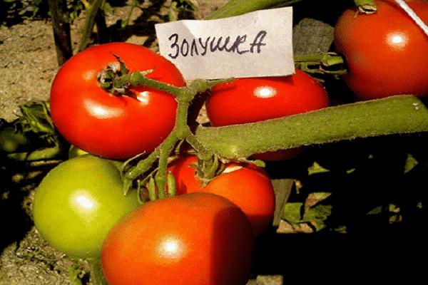томаты Золушка