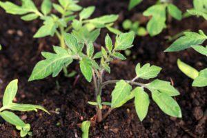 Как правильно и когда посадить помидоры на рассаду дома