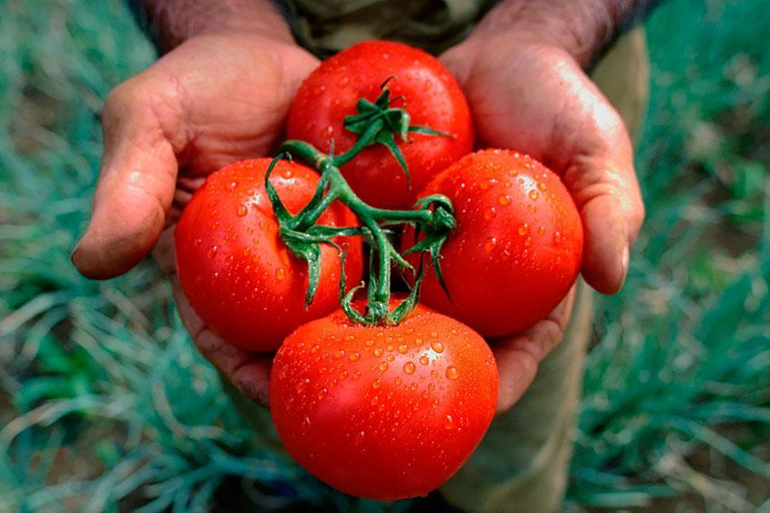 томаты в руках