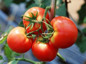 Описание лучших сортов томатов для открытого грунта в Подмосковье