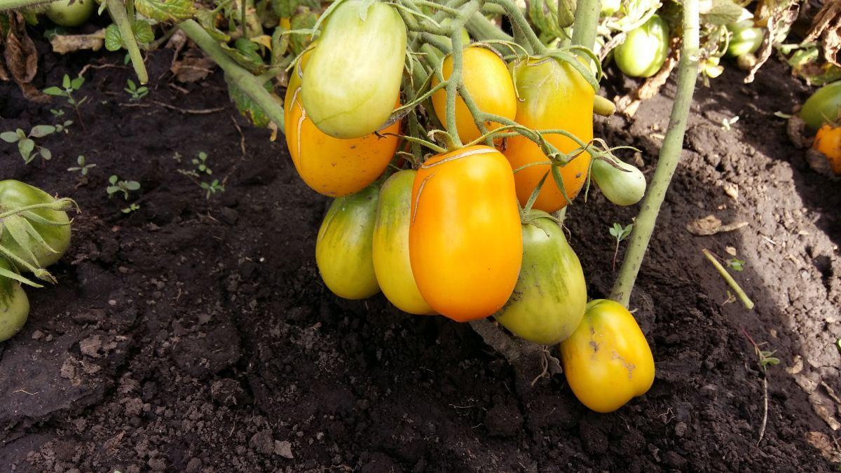 Бендрика томат