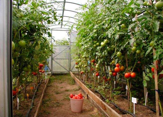 схема посадки томата