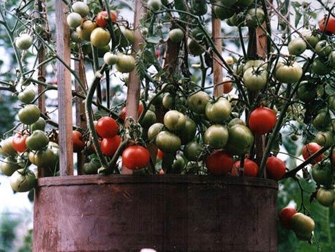 Выращивание томатов в бочке