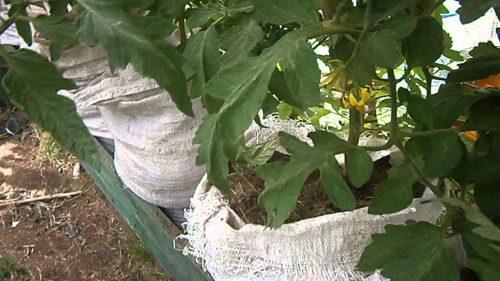 выращивание в мешках томата