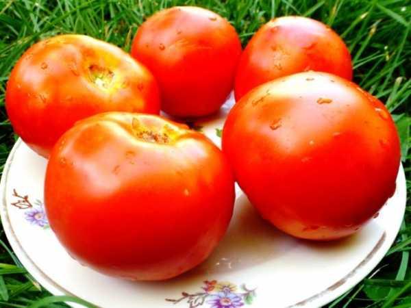 томат камея